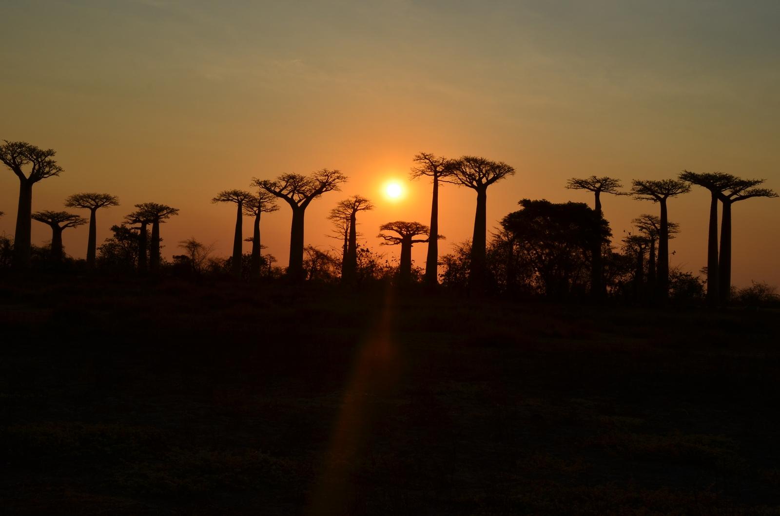 baobab-sunset