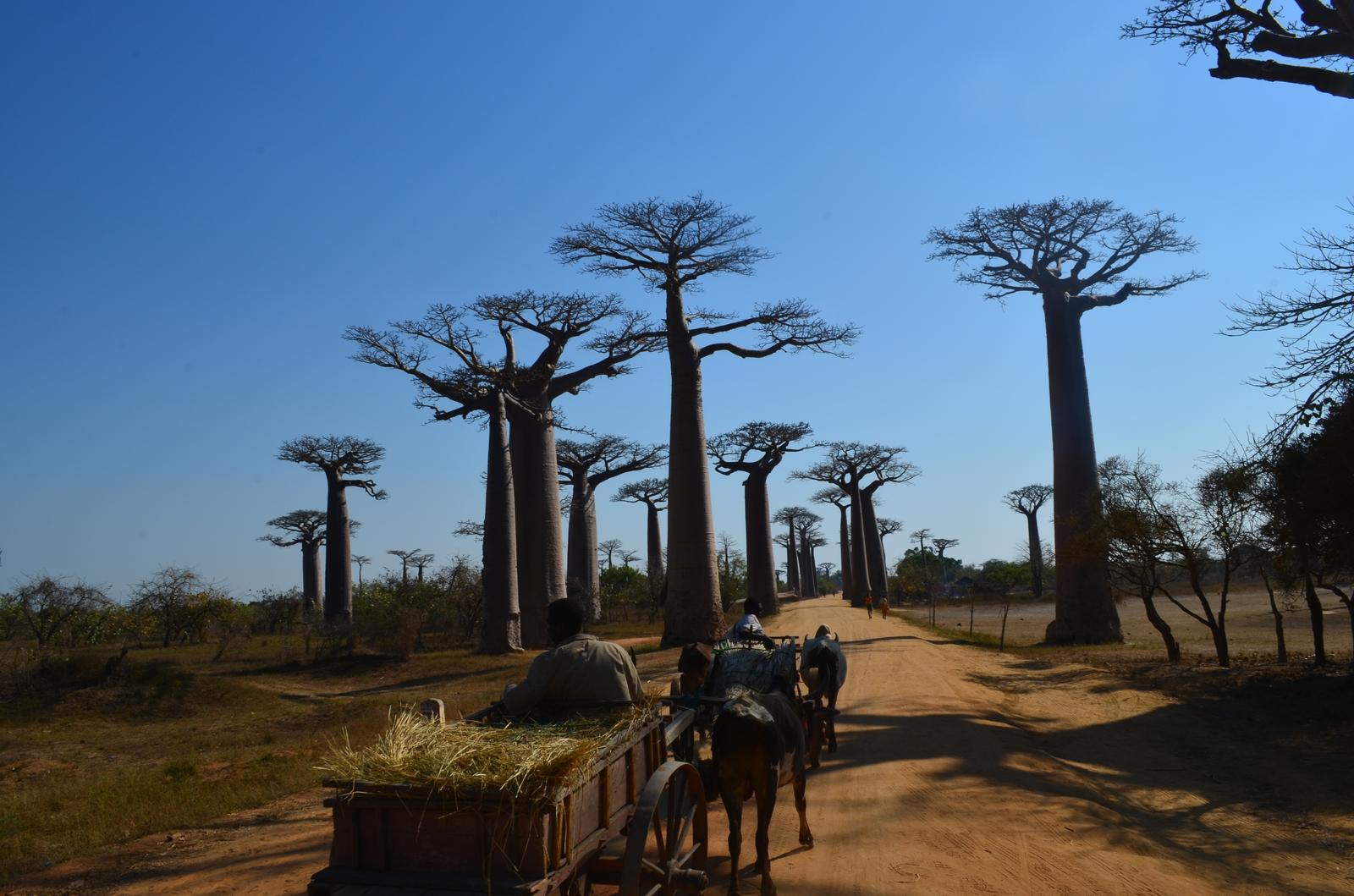 baobab_zebu