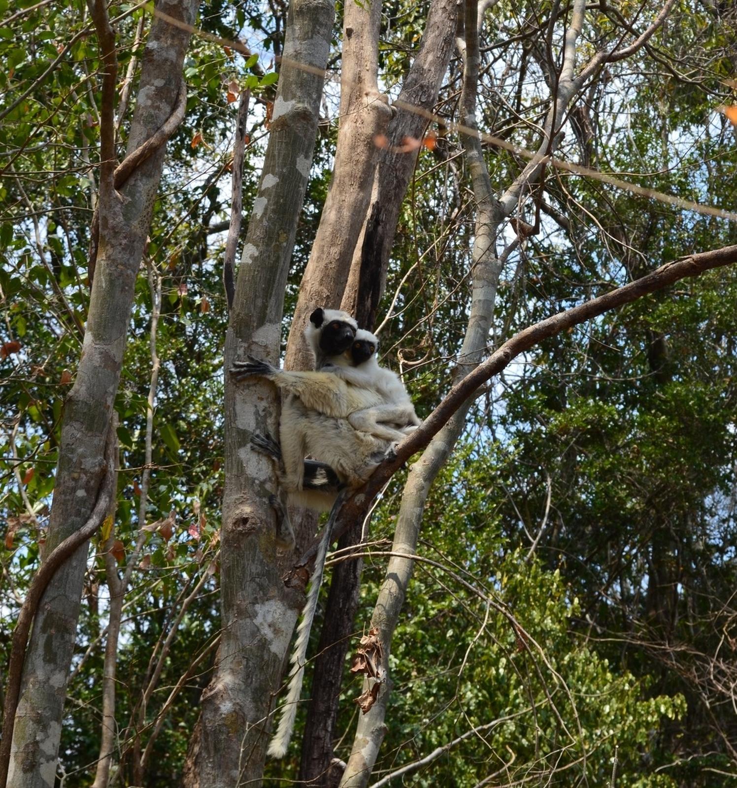 white-lemur1